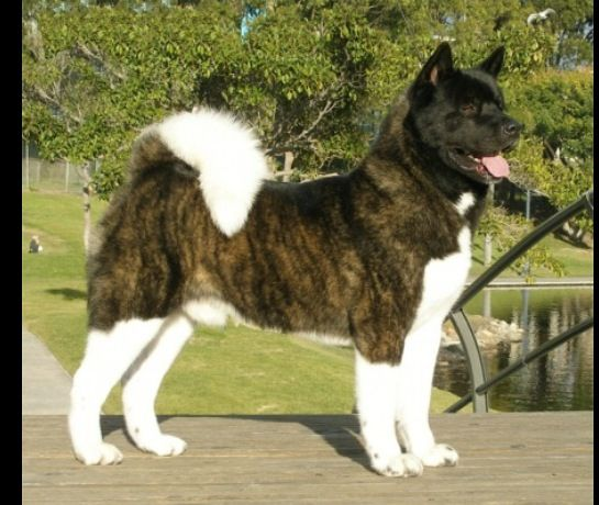 Brindle Male American Akita Akita Dog Akita Japanese Dogs