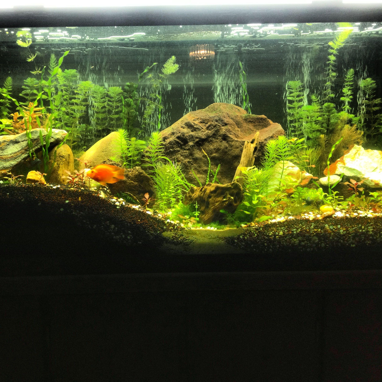 Planted 55 gallon aquarium Attempt at mix between a Cichlid tank