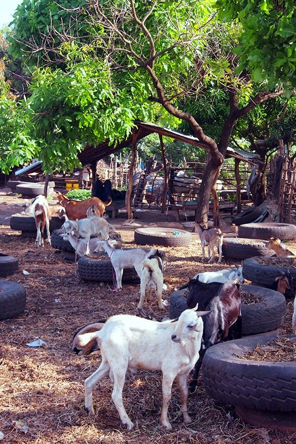 GOAT MARKEThere in Gambiaa source of ready