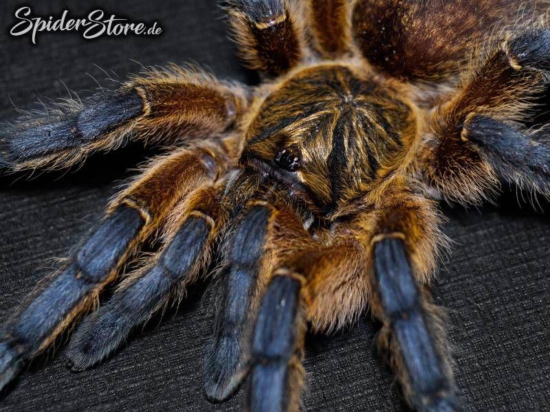 Harpactira Pulchripes In 2020 Spinne Vogelspinnen Vogelspinne