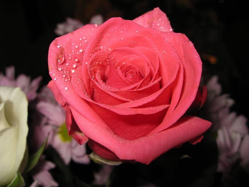 Lo bello de la naturaleza al aire libre rose flower
