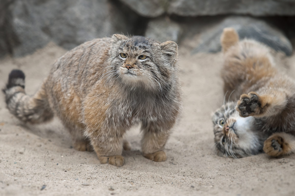 The Calgary Zoo's two new cats are an sensation