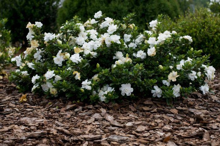 gartenpflanze gardenie strauch garten ideen