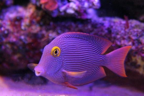 Reefman Qc Added Kole Yellow Eye Tang Ctenochaetus Strigosus Tropical Fish Aquarium Marine Fish Coral Reef Aquarium