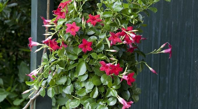 Kwiaty Na Dzien Matki 10 Kwitnacych Roslin Na Balkon I Taras Urzadzamy Pl Plants