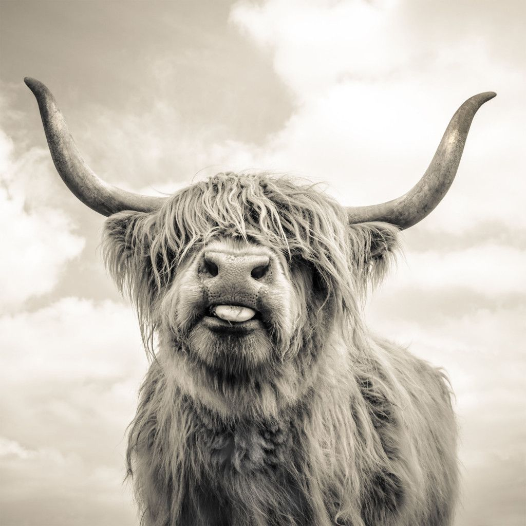 HIGHLAND COW SPRING COUNTRY PHOTO FRAME PICTURE ANIMAL WILDLIFE PRINT GIFT ART
