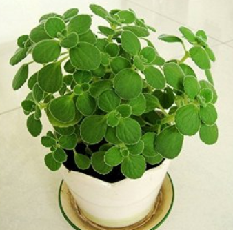 feng shui plant-Pelargonium odoratissimum - Most of pig people has rich living, but the money also lost by a luxurious life. So pig people can place Pelargonium odoratissimum in home and office room to help you saving money.