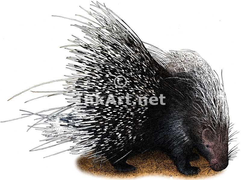 Full color illustration of an African Crested Porcupine (Hystrix cristata)