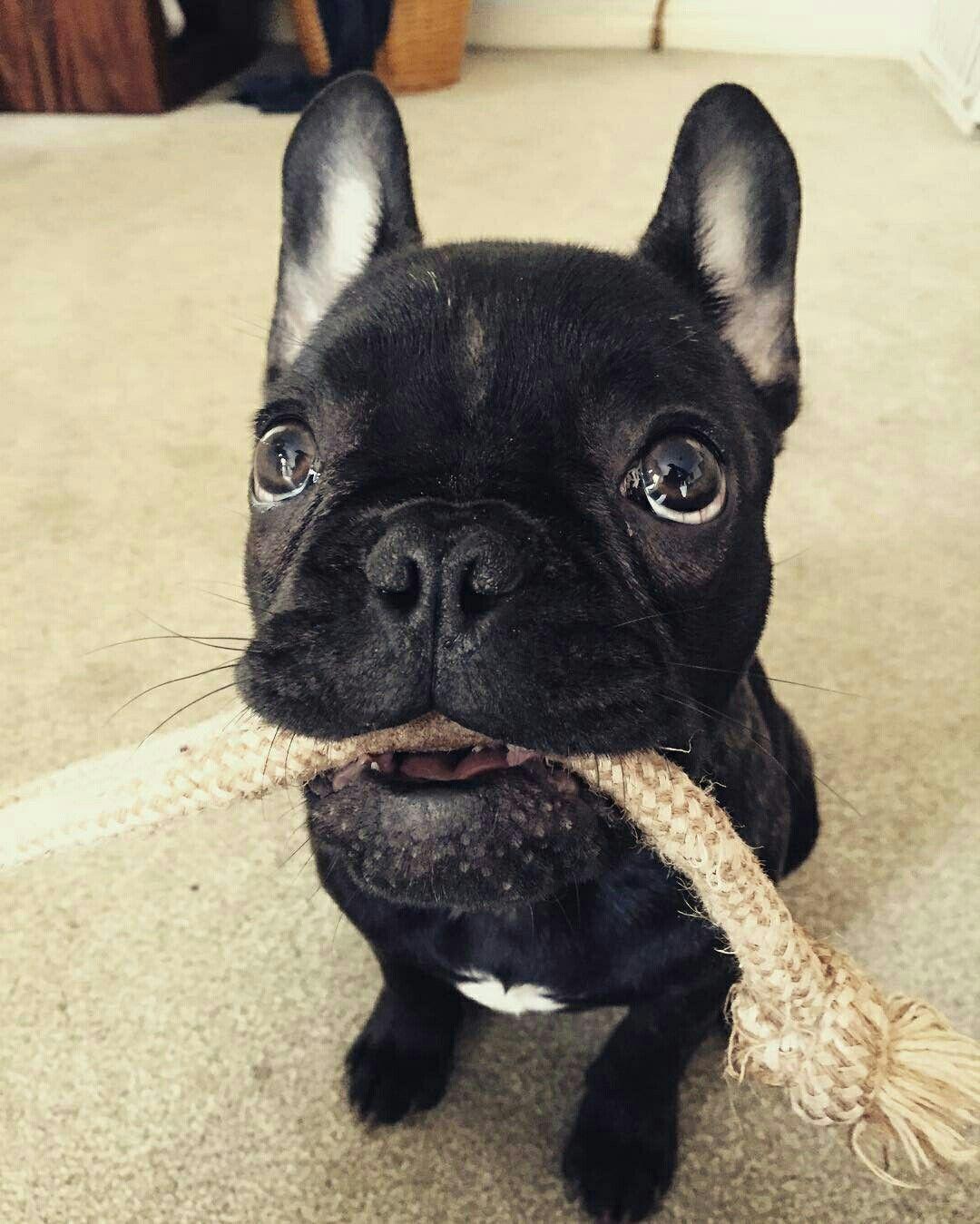 French Bulldog Playful and Smart French bulldog