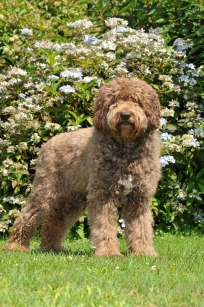 Netherlands Barbet French Water Dog Dogs Pinterest Dogs