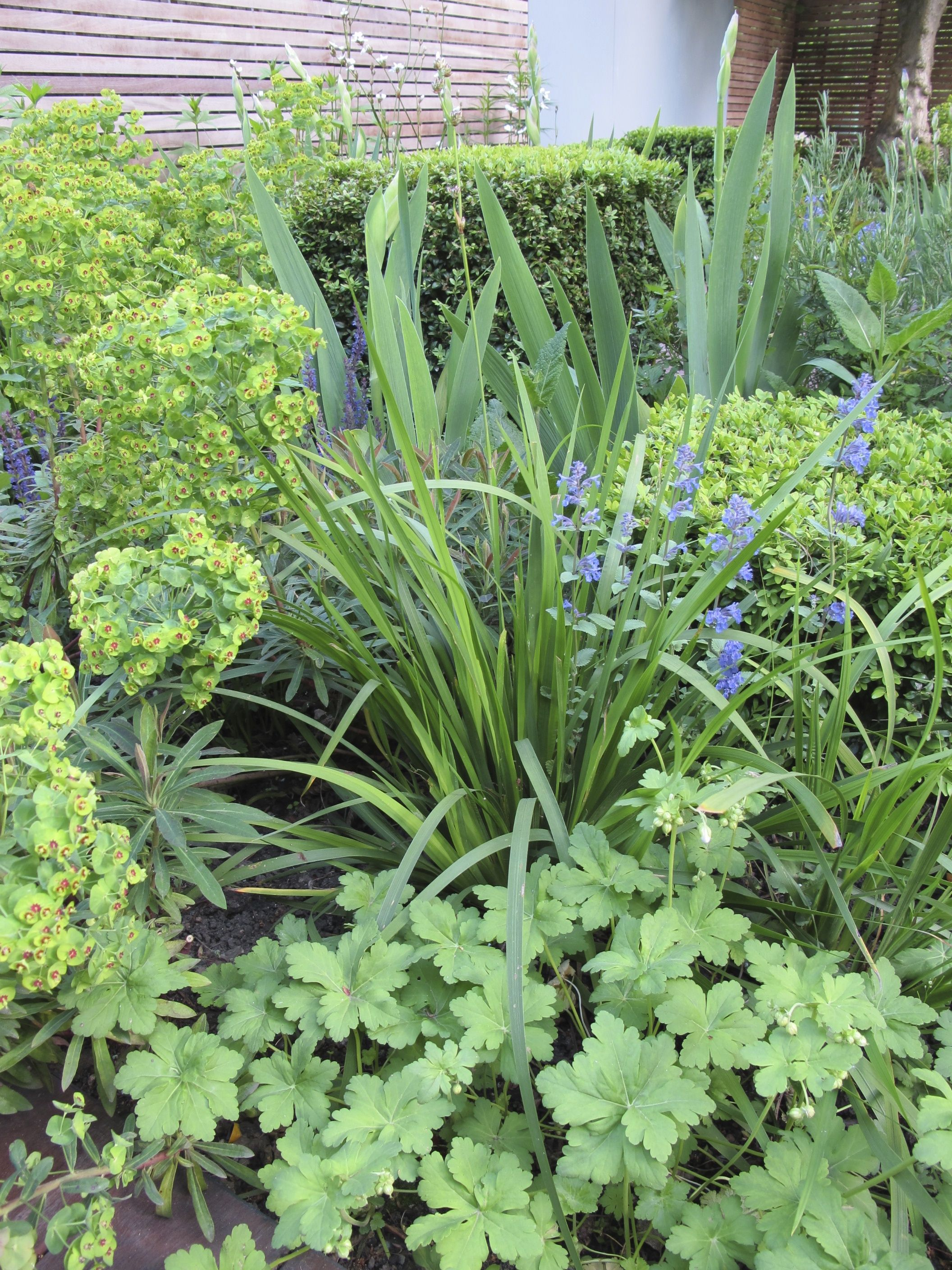 Evergreen planting combinations providing height and ...