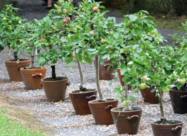 comment installer les petits arbres fruitiers au jardin ou. Black Bedroom Furniture Sets. Home Design Ideas