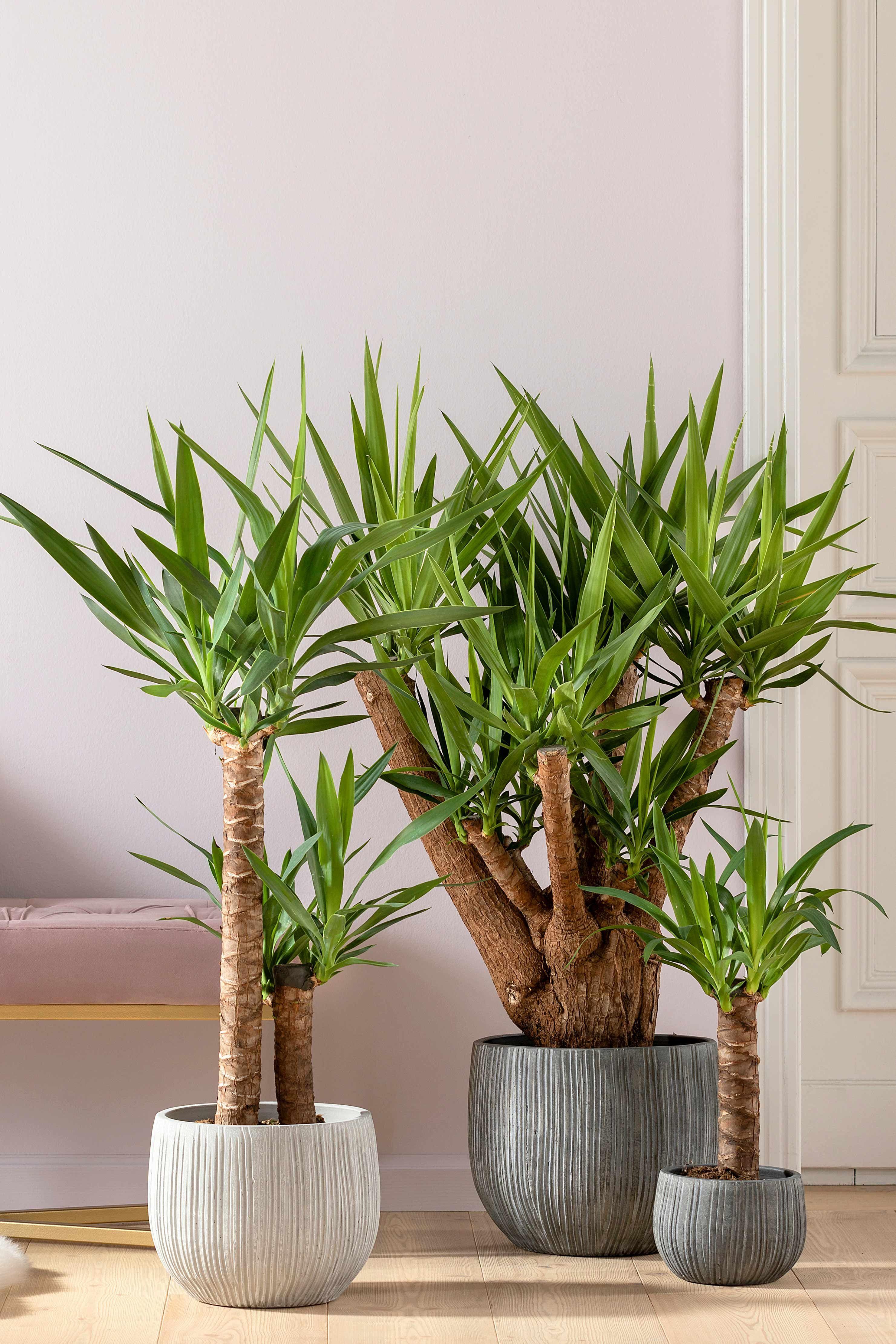 Yucca Palme Pflanzen Zimmer Indoor Pflanzen Dekor Yucca Pflanze