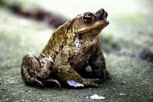 creepicrawlies:    Der Frosch  by*feigenfrucht