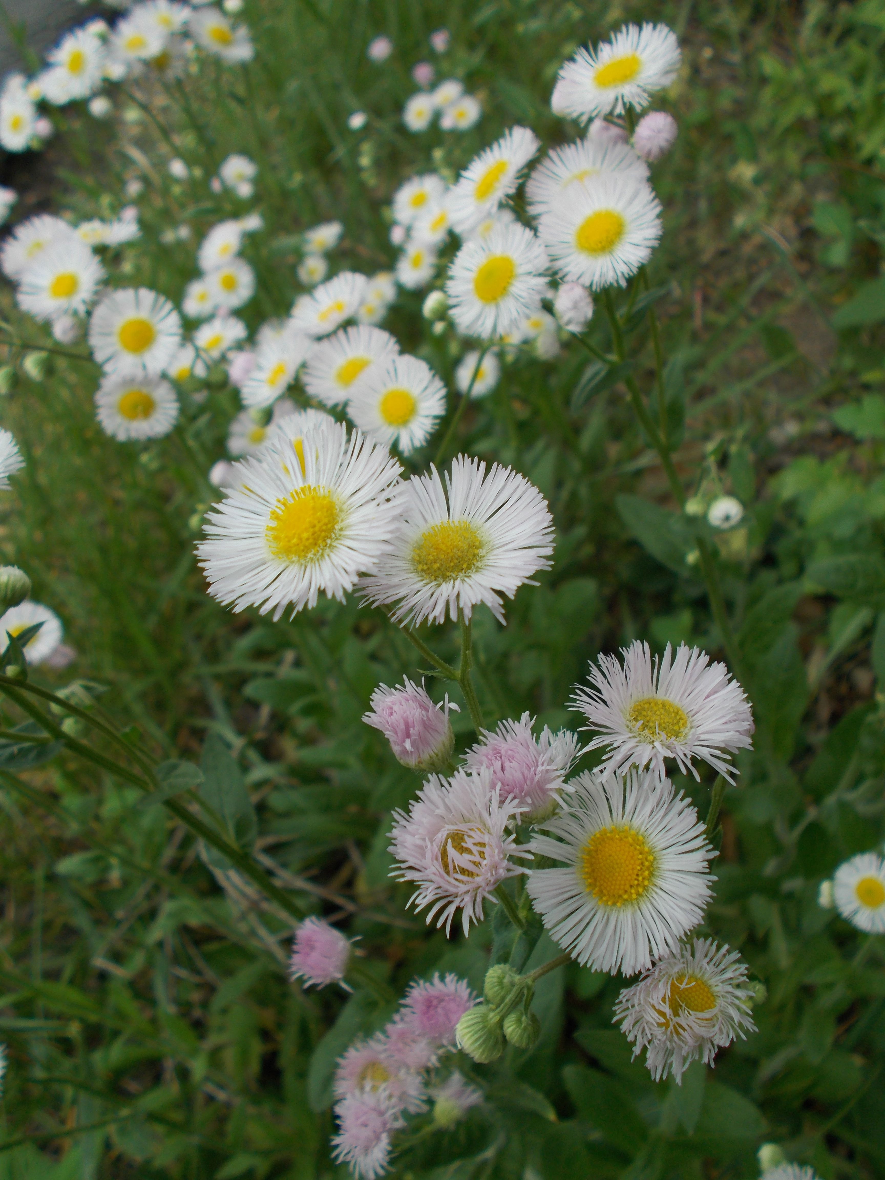 Fleabane Aster Family Garden Harvest Wild Flowers Plants