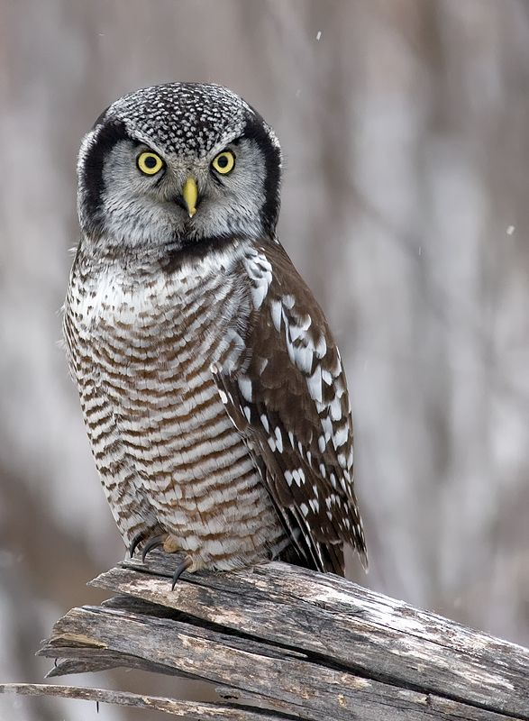 Northern Hawk Owl (Surnia ulula) Location: Quebec, Canada
