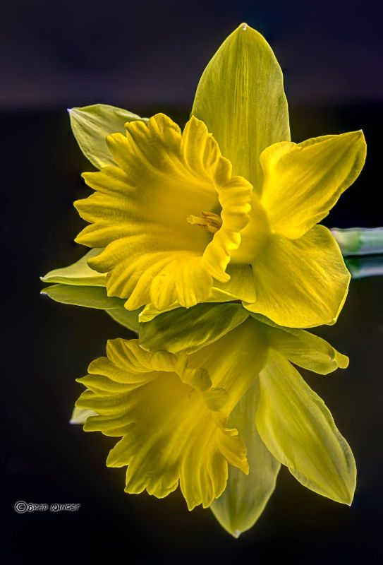 Daffodil Reflections Flowers Photography Flowers Daffodil Photography
