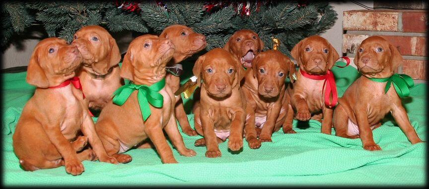 Christmas vizsla puppies vizsla puppies vizsla puppies