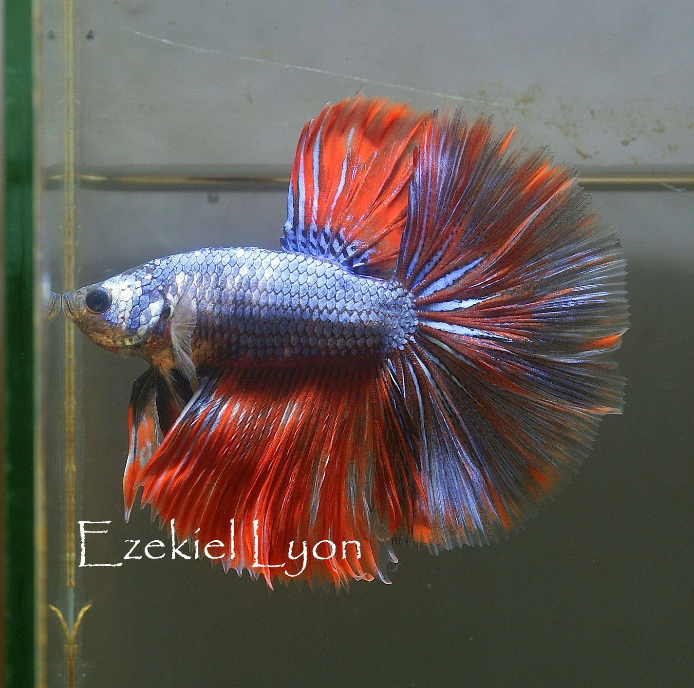 fwbettashm1397839064 - Blue Red Fancy HM | Betta Fish | Pinterest ...