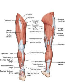 Lower Back And Leg Muscle Diagram : lower, muscle, diagram, Muscle, Muscles, Anatomy,, Anatomy