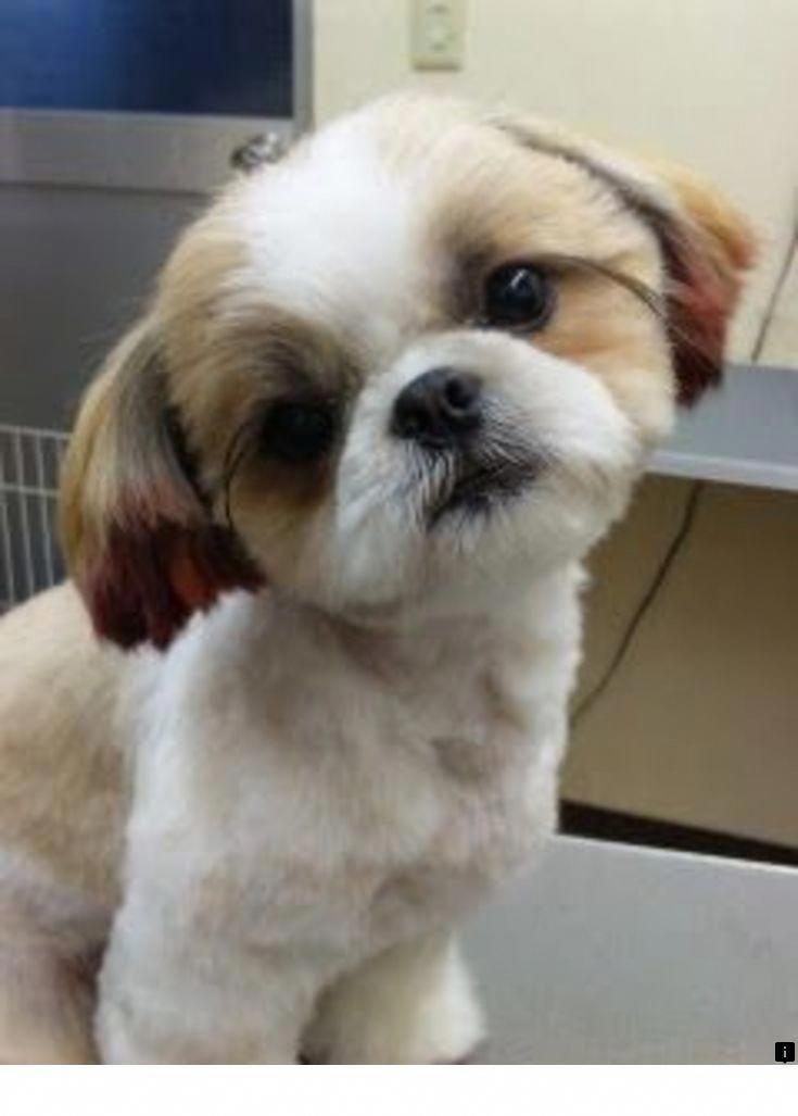 Determine Additional Relevant Information On Shih Tzus Puppy
