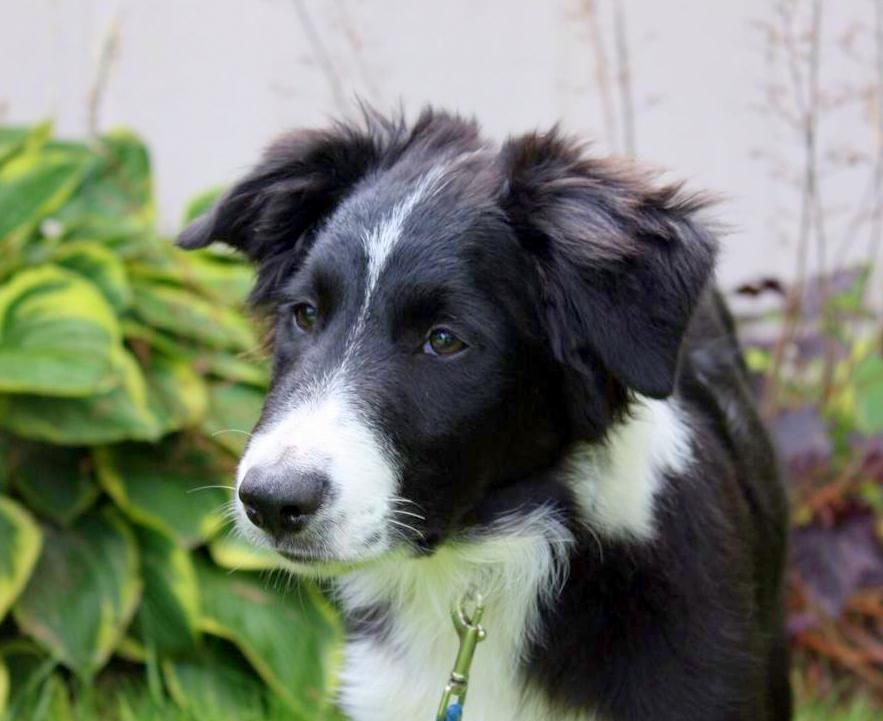 Buster Oregon Buster Is A Young Deaf Border Collie Available For