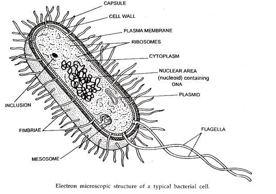 Prokaryotic I Picked This Photo Because It Labels All The Types Of Things That Are In A Prokaryotic Cell Prokaryotic Cell Plasma Membrane Prokaryotes