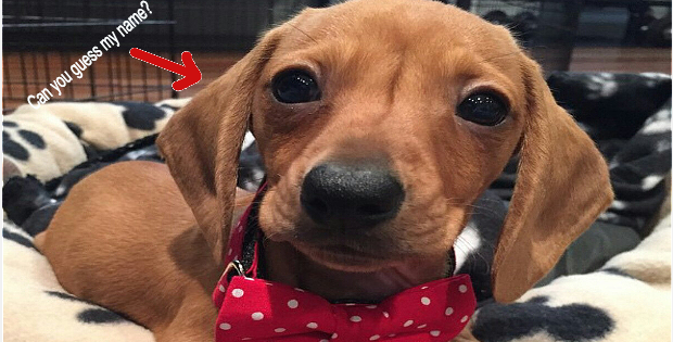 The Absolute 10 Best Mini Dachshund Dog Names Ever (With