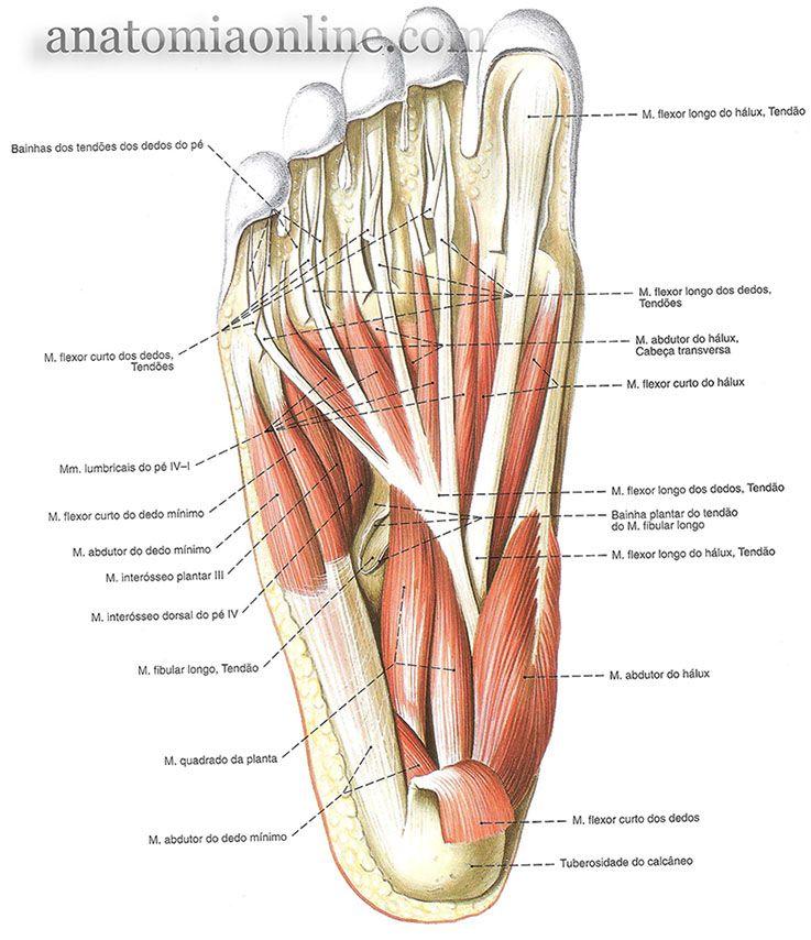 Musculos Do Membro Inferior Anatomia Do Corpo Humano