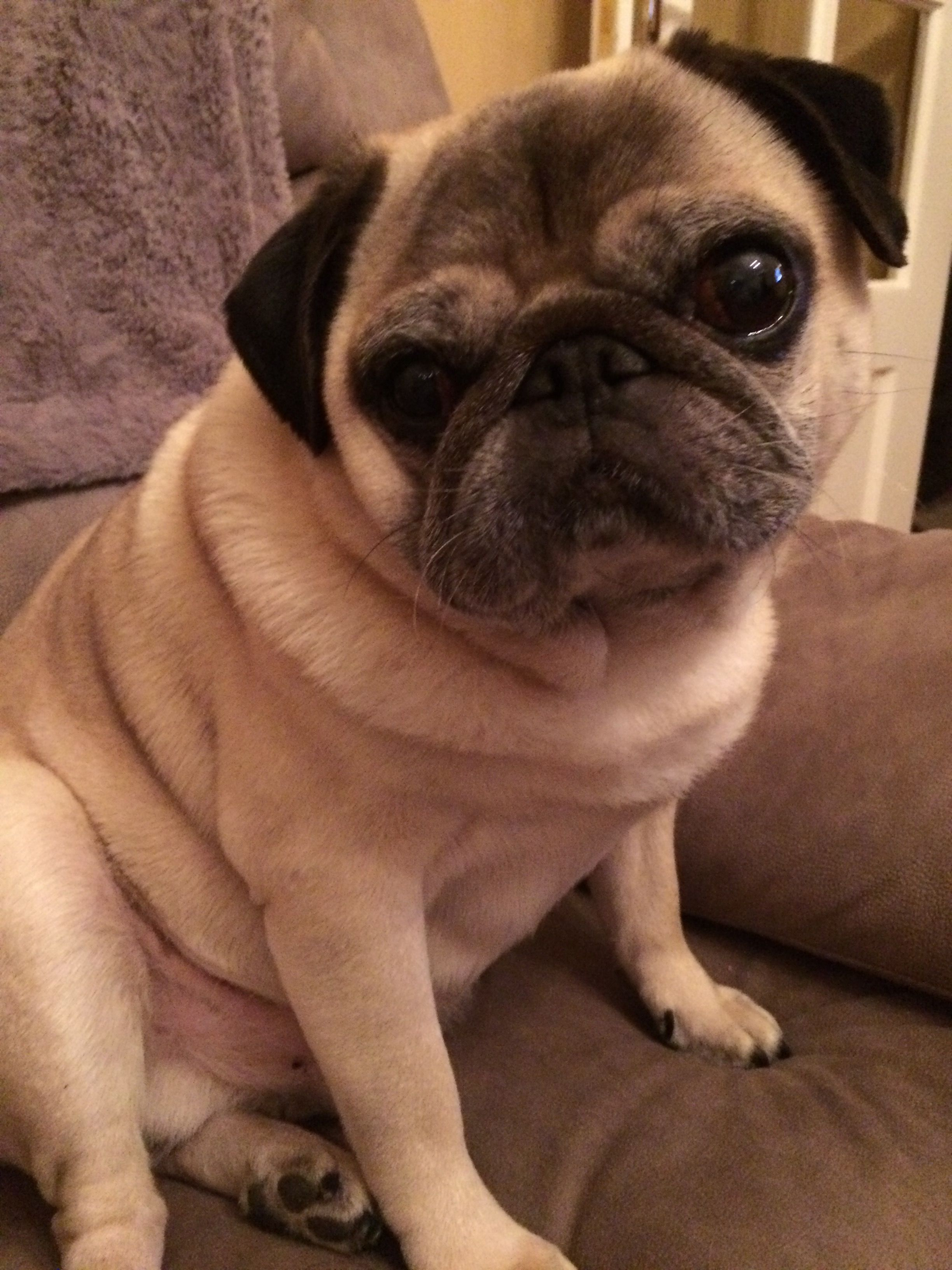 Pin By Schrodinger S Terf On Pugs And All Things Pug Pugs Dogs