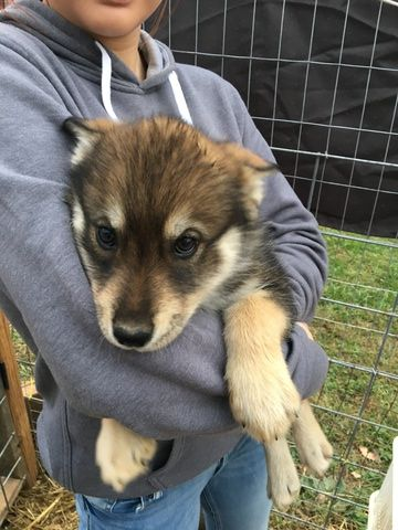 Wolf Hybrid Puppy For Sale In Lanesville In Adn 19067 On