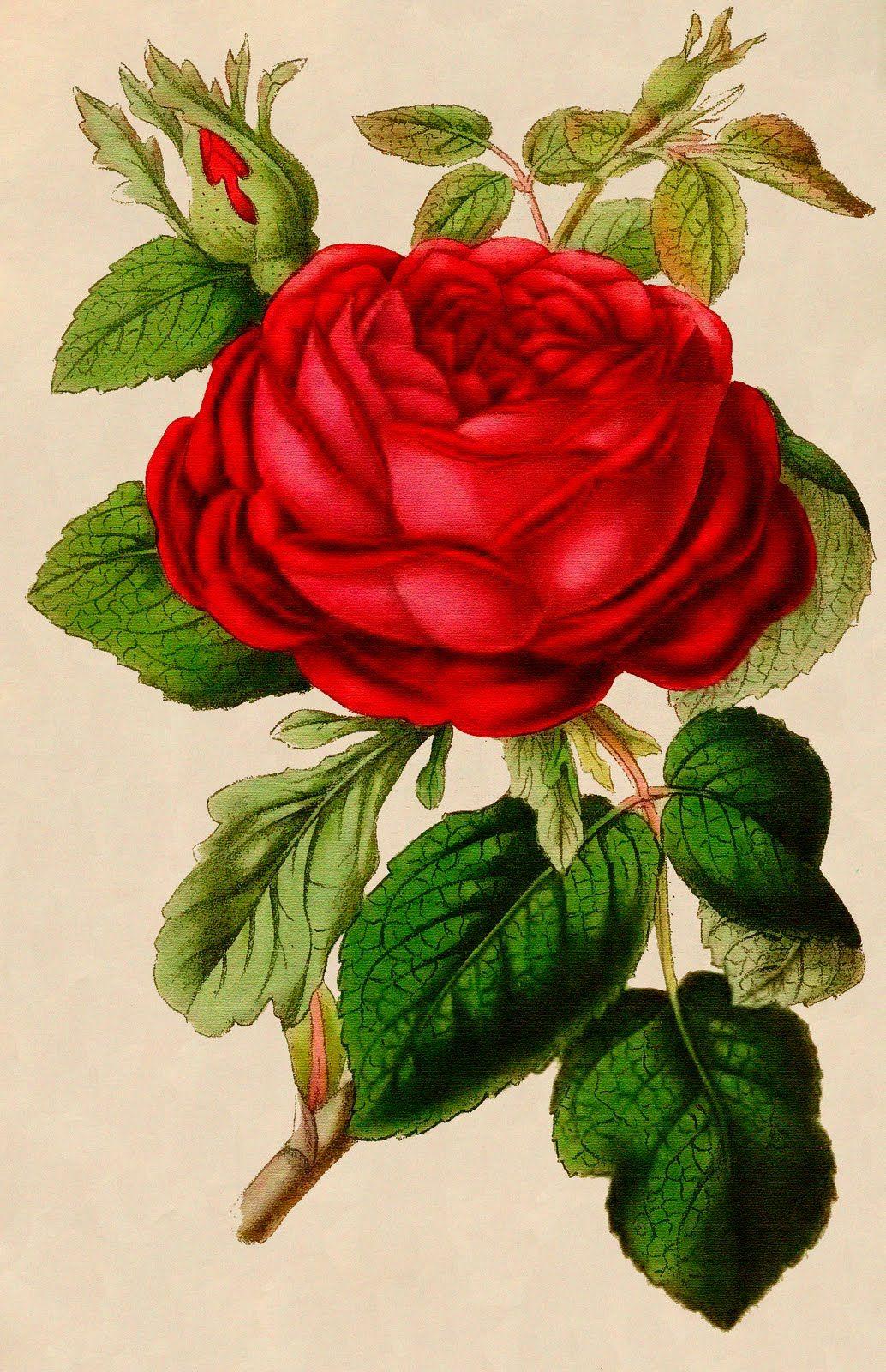 vintage graphic beautiful red rose vintage graphic. Black Bedroom Furniture Sets. Home Design Ideas