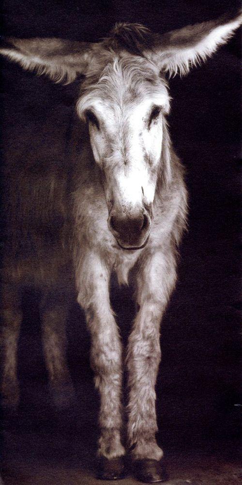 mule.