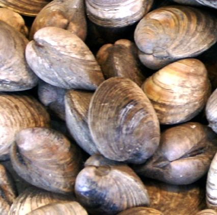 Littleneck Clams Inhabit In Mixed Substrates Of Gravel Sand And