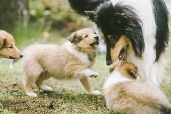 Photographing running puppies with 85 mm lens