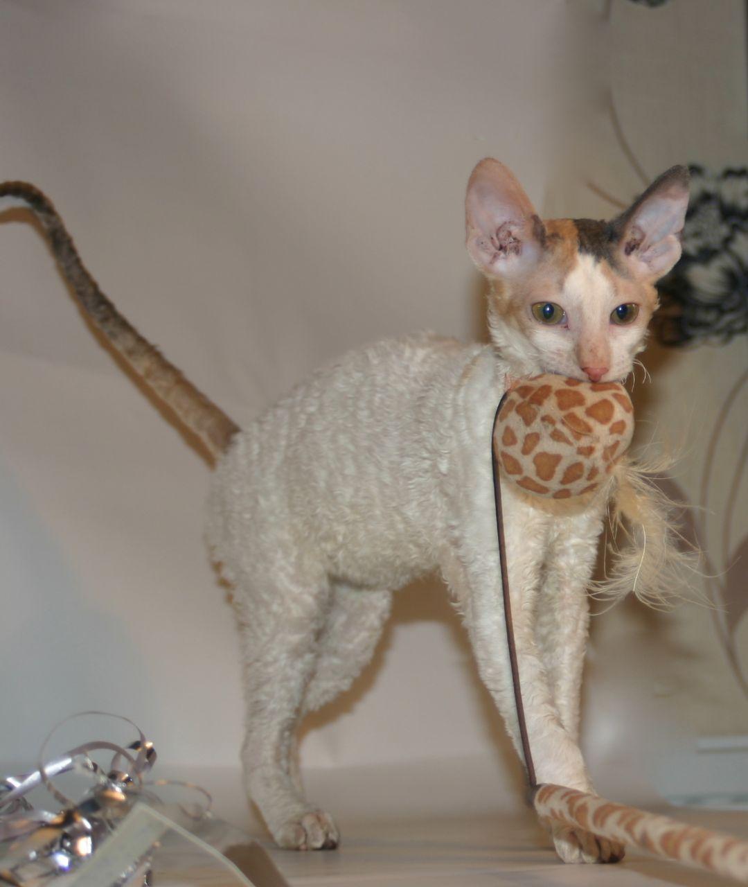 9 Hypoallergenic Cat Breeds - Best For Allergies   Cat tips...etc ...