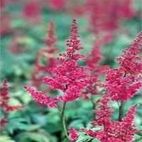 Fanal Astilbe Deer Resistant Perennials Perennials Front Yard Flowers
