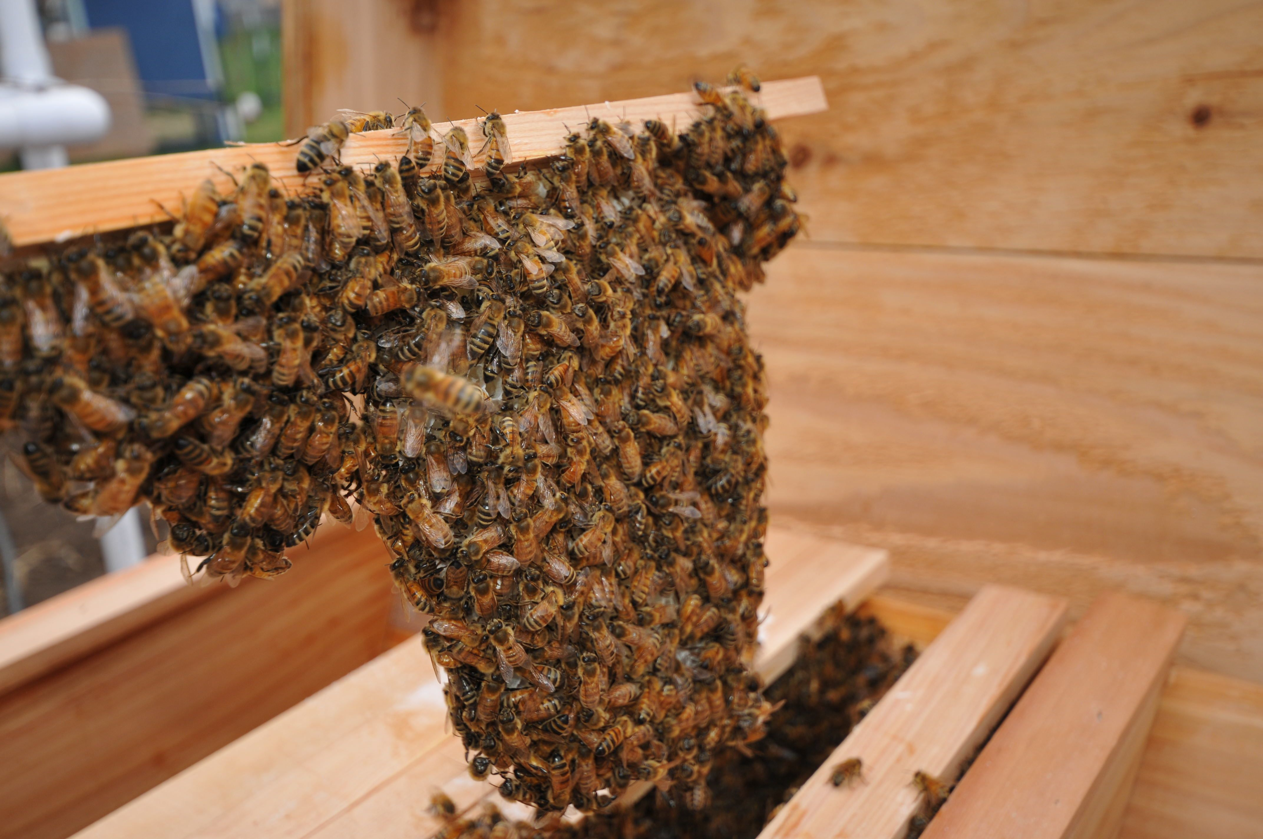 Honey bees building comb the natural way in the top bar hive. | Bees ...