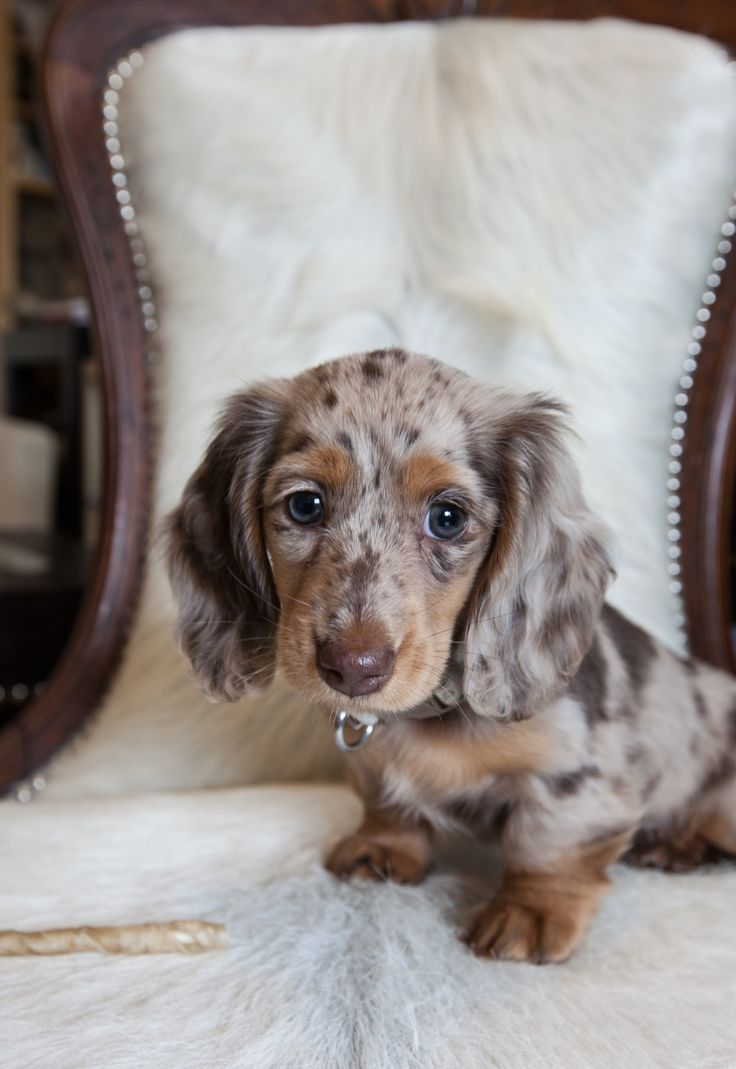 Dachshund Friendly And Curious Dachshund Puppies Dachshund