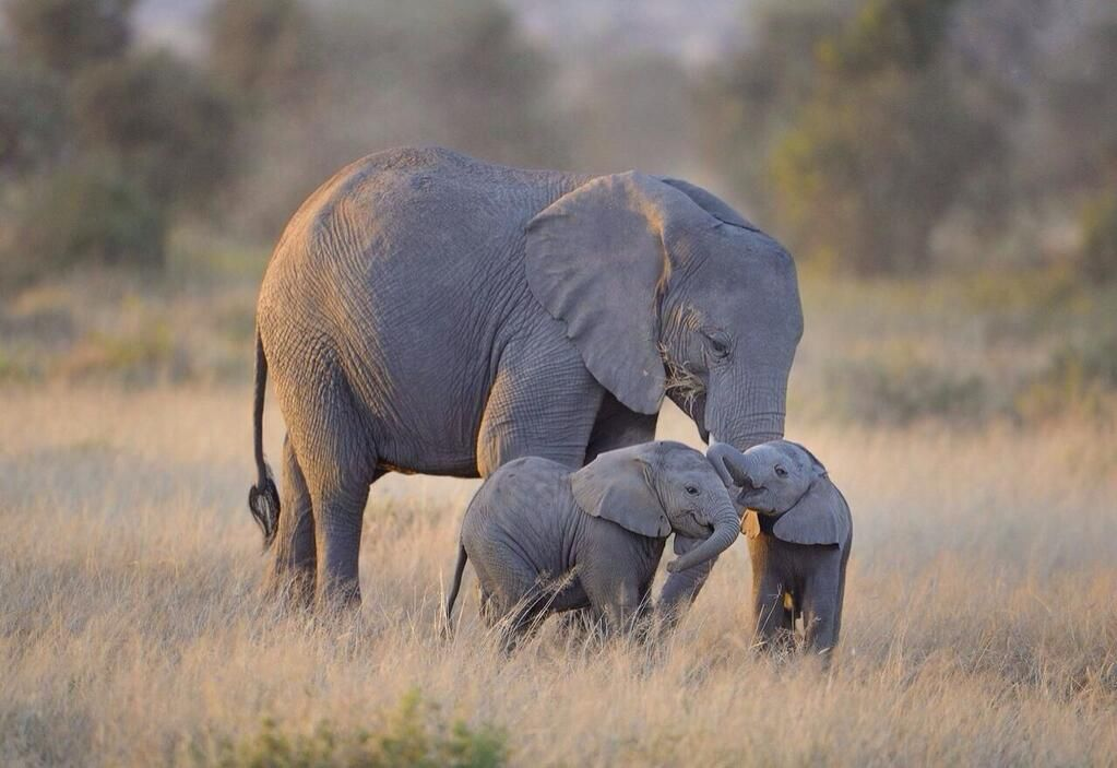 Twins What A Happiness For This Elephant Mom Rare I Hope That