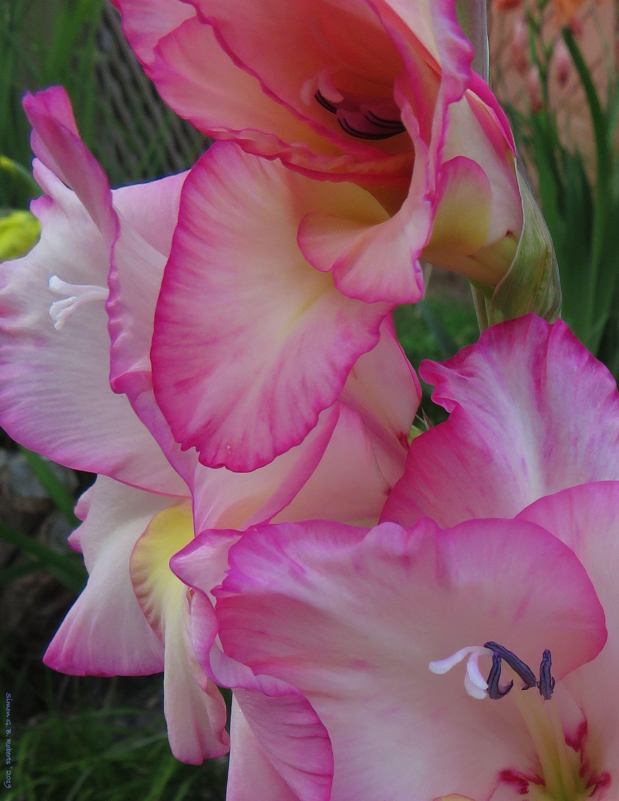 Gladioli Gladiolus Fondos