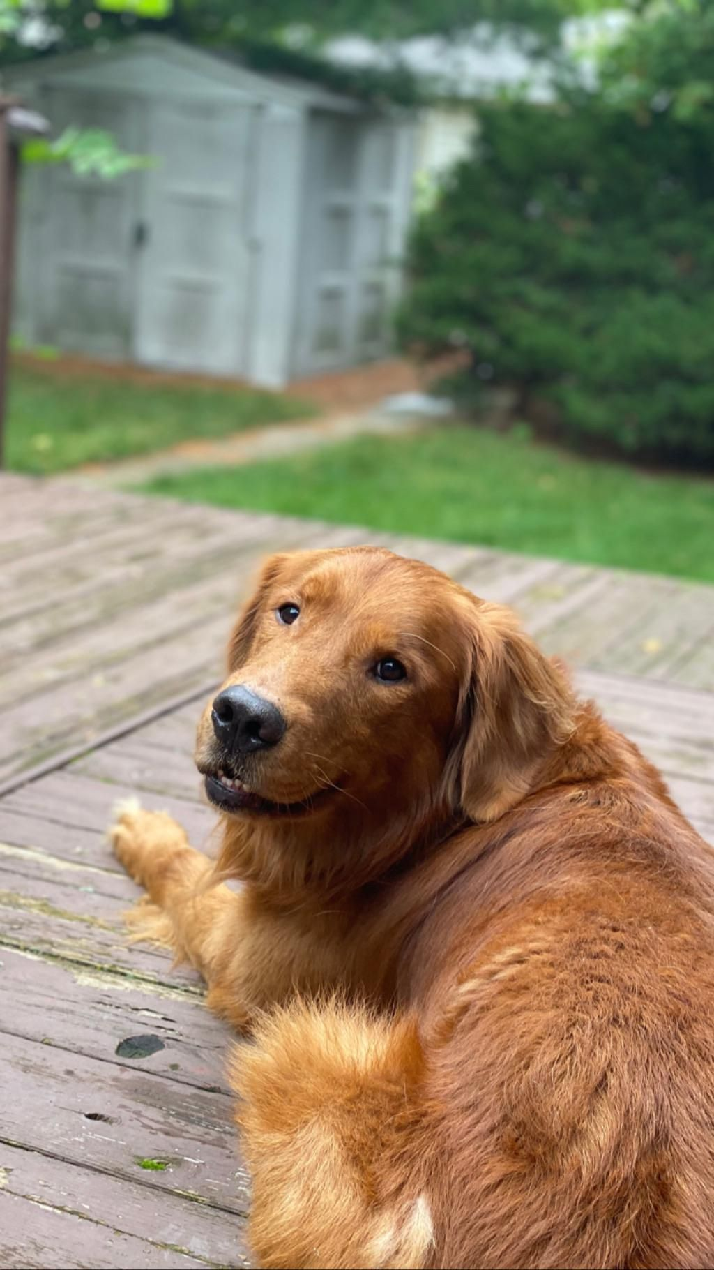 My Buddy Hanging Out On The Deck Dogs Golden Retriever Cute