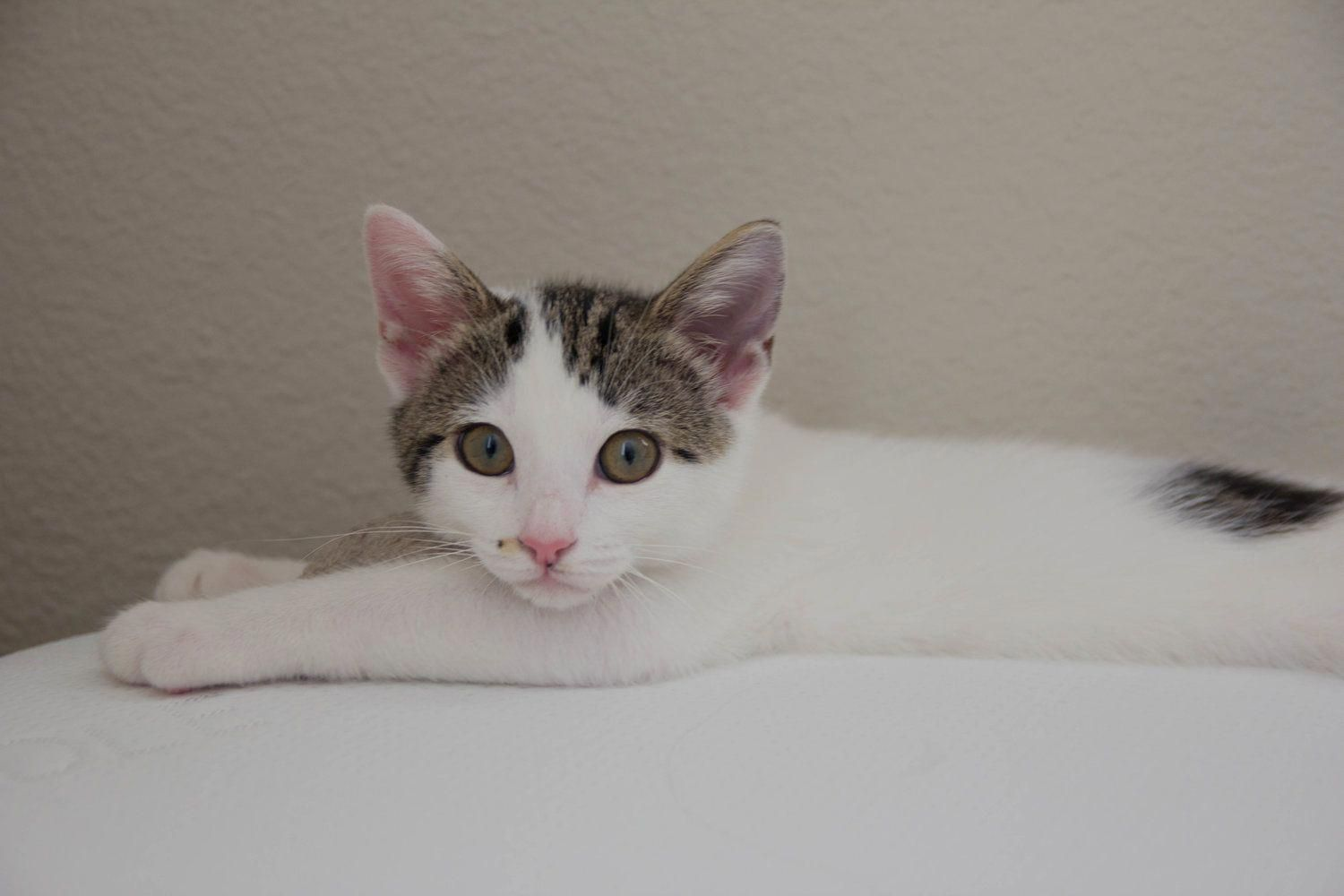 how much does a cat actually cost, cat adoption tips