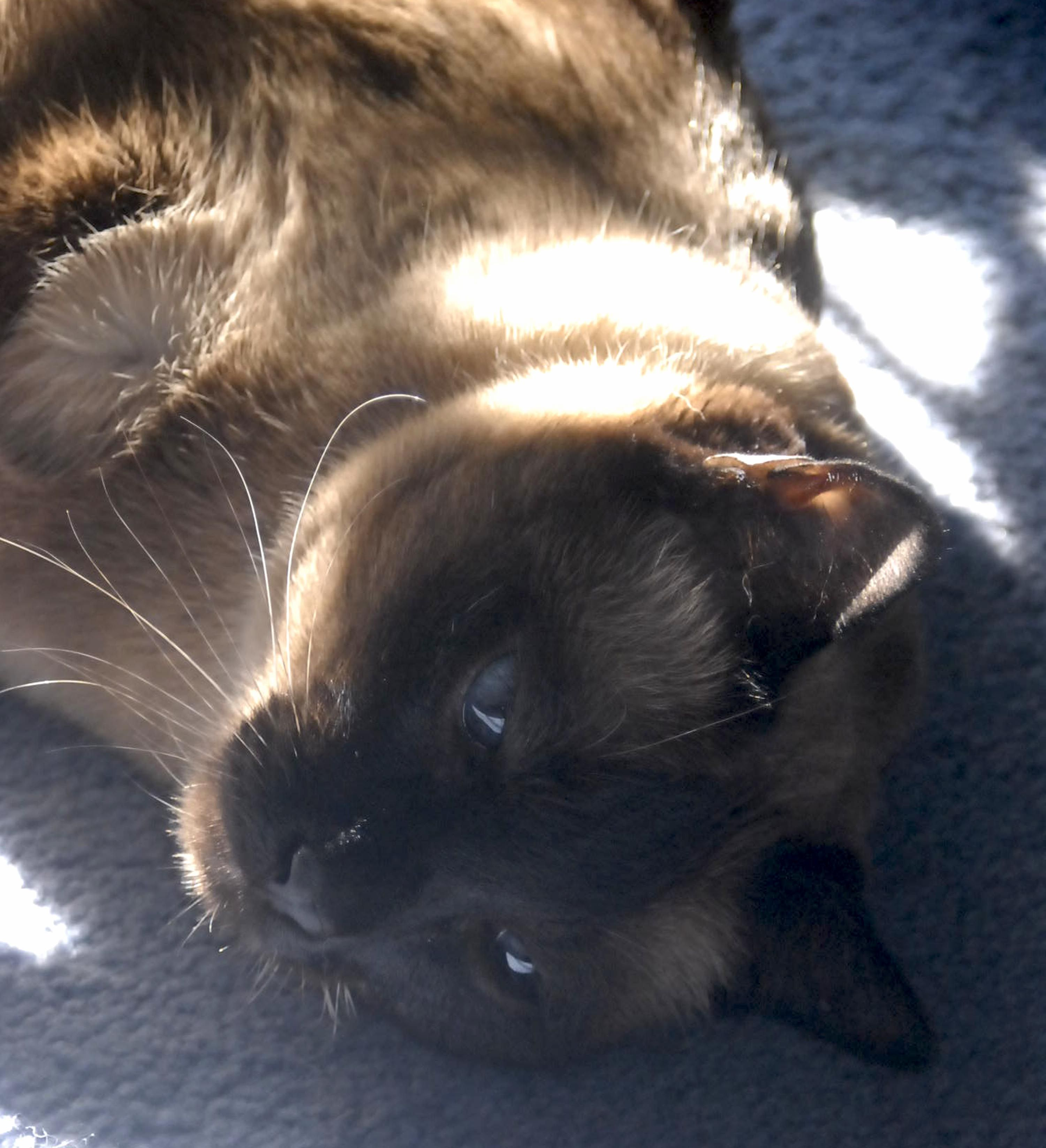 Such a big beautiful boy. Siamese cats, Cats and kittens