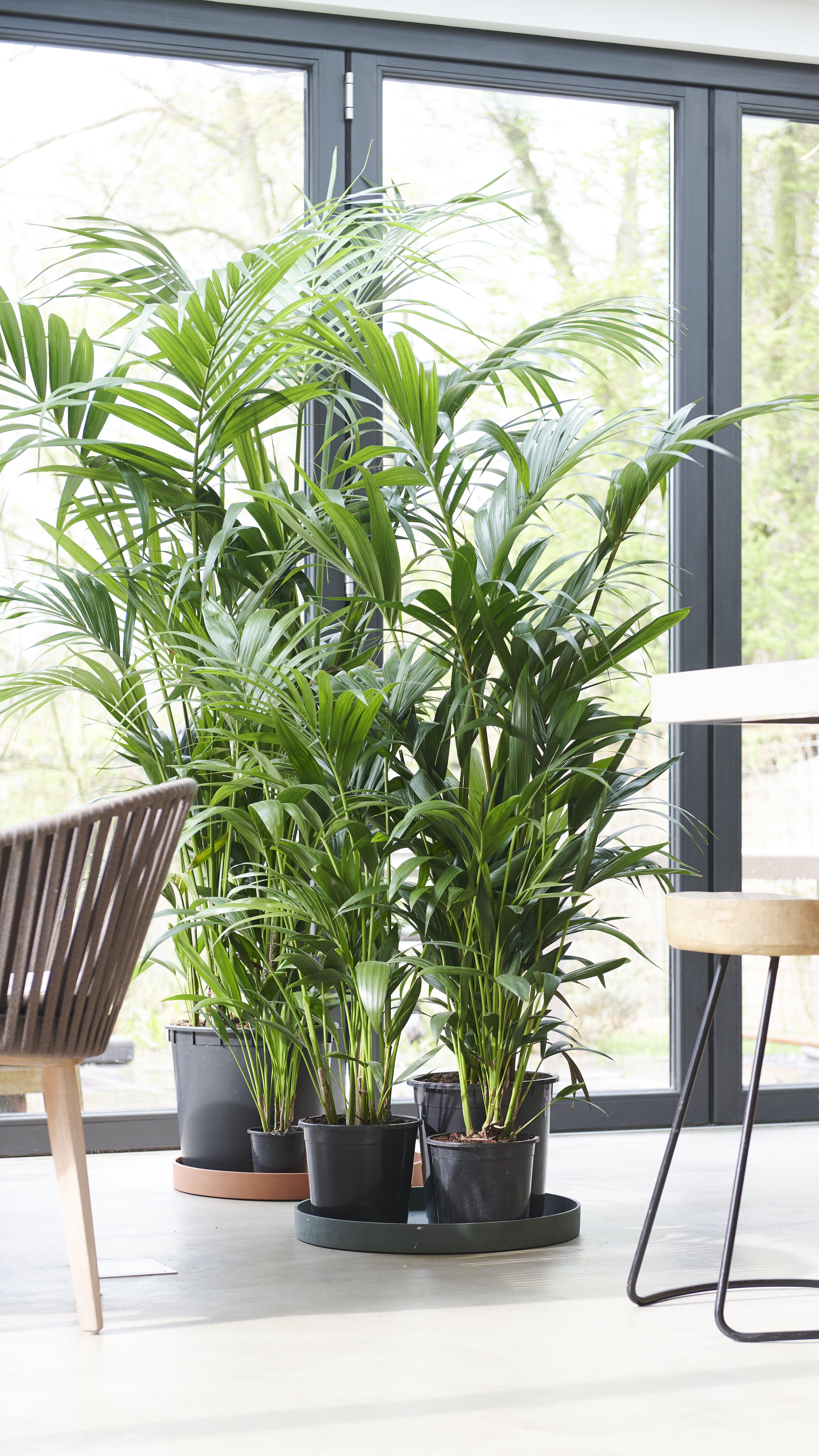 Die Kentia Palme Palmen Zimmerpflanzen Ideen Kentia Palme