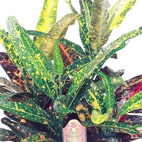 bush on fire croton one of over 400 varieties from exotic angel plants over 400 different. Black Bedroom Furniture Sets. Home Design Ideas