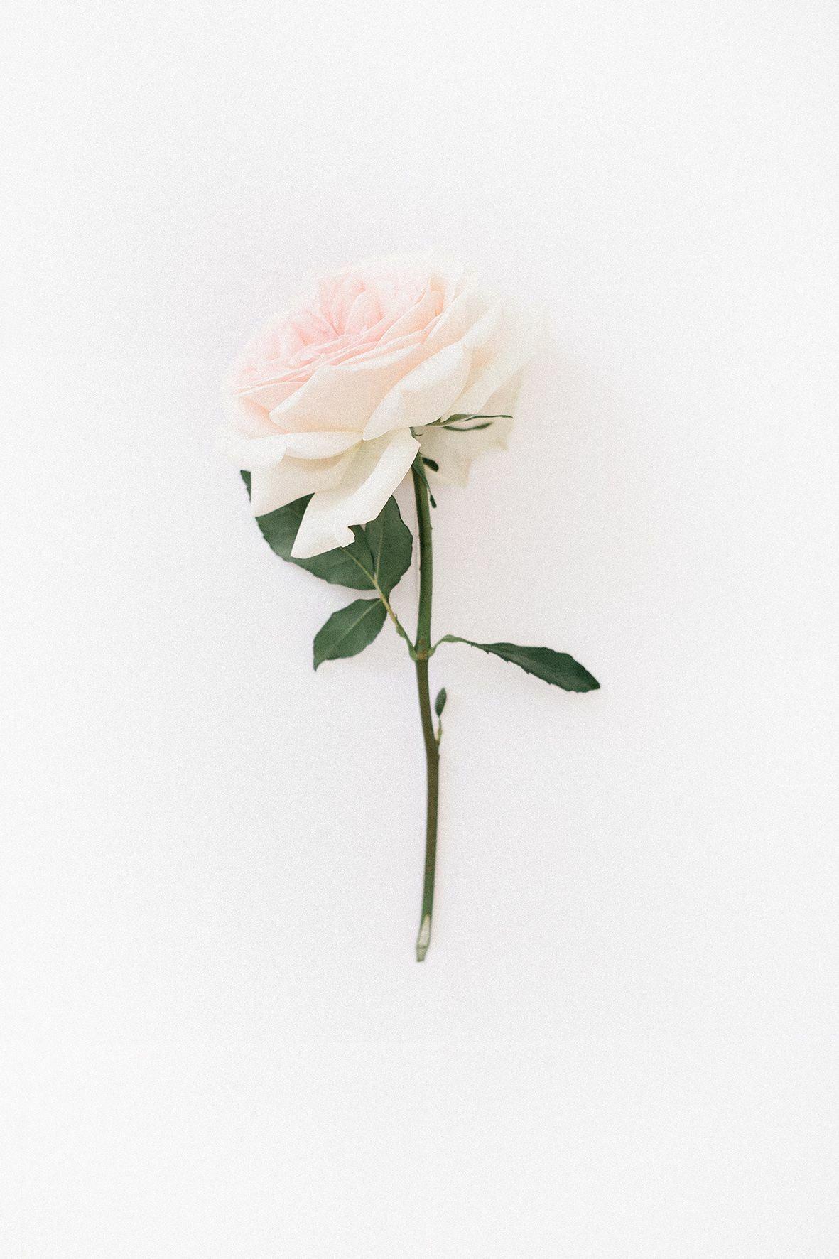 Underbeadsphotos White Roses Wallpaper Rose Wallpaper White Roses Background