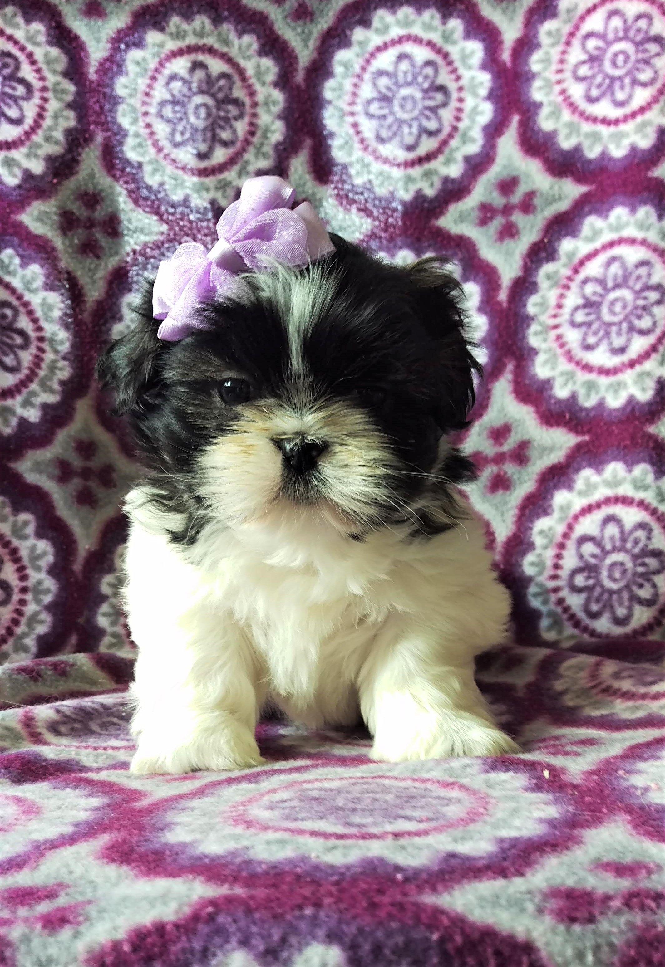 Playful Shihtzu Shih Tzu Puppy Baby Dogs Cute Puppies