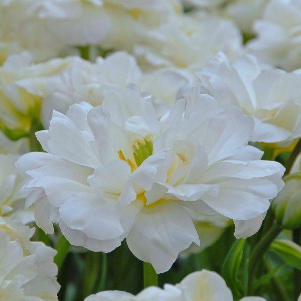 Wie kleine weiße Wolken sehen die Blüten der Tulpe \'White Touch\' aus ...