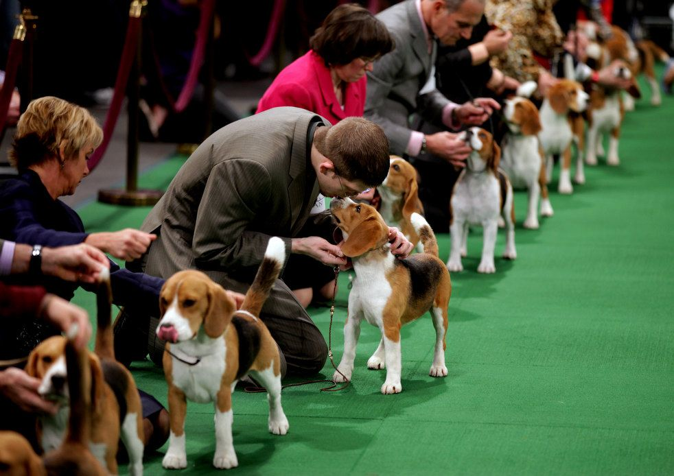 Miss P The 2015 Westminster Dog Show Best In Show Dog Show